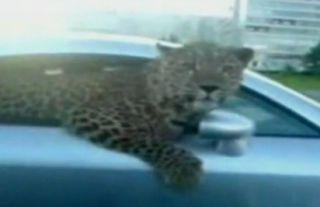 Русские жгут: леопард на Audi TT! (ВИДЕО)